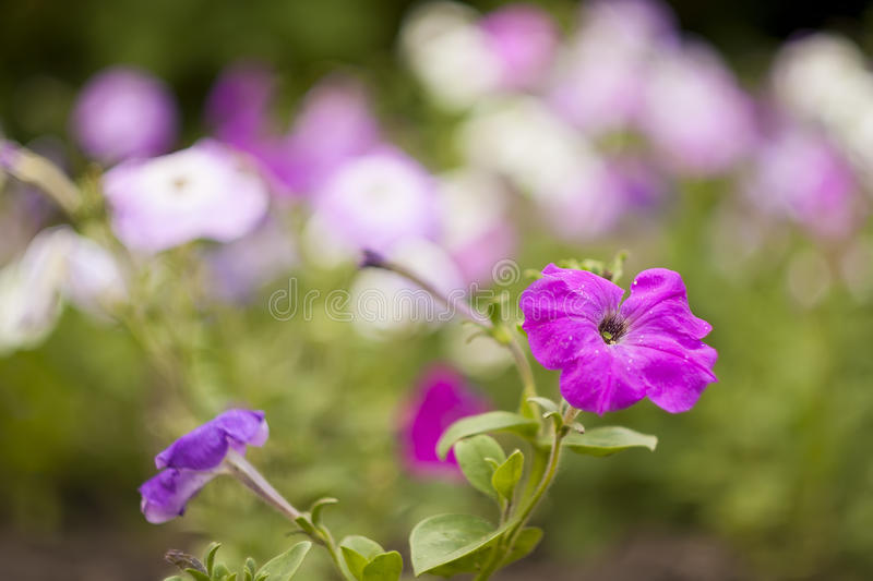 Ppink petunia royalty free stock photo