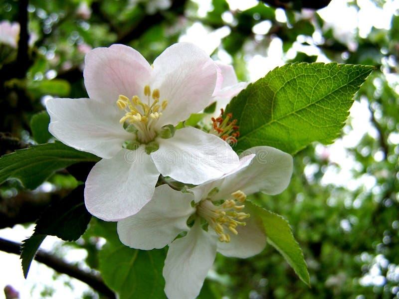 ?ppleblom blomstrar filialfj?dertreen royaltyfria bilder