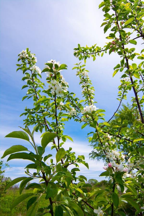 ?ppletr?det blommar ?ver vit fotografering för bildbyråer