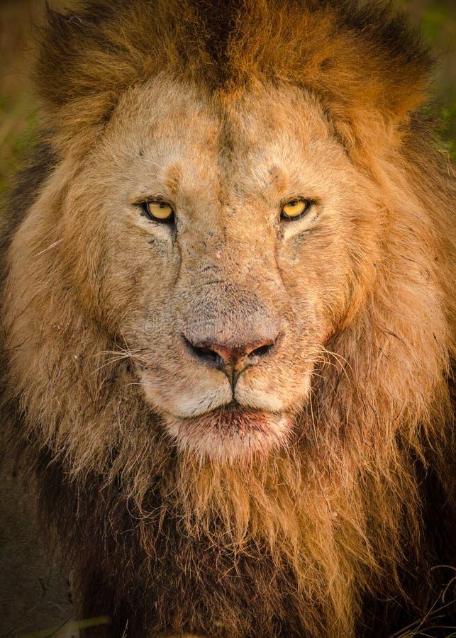PPortrait av ett manligt lejon, når att ha ätit ett byte royaltyfri bild