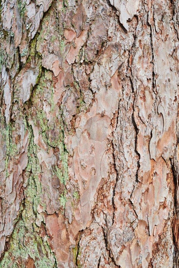 Prägeartige Beschaffenheit der Barke der roten Kiefer Naturholzhintergrund stockfoto