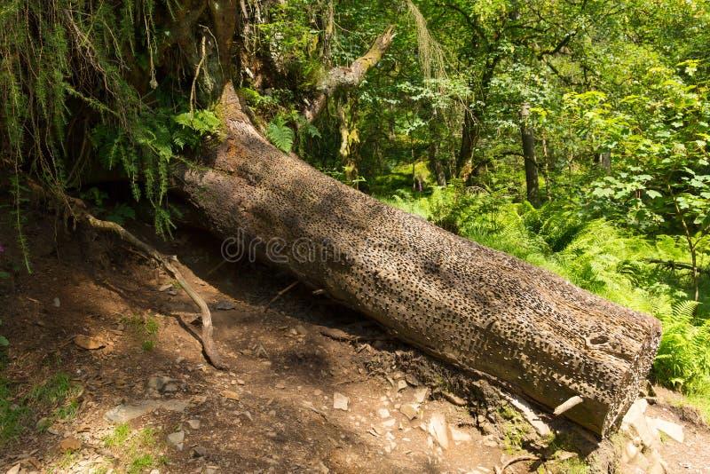 Prägen Sie Baum am Tarn Hows See-Bezirks-Nationalpark England Großbritannien lizenzfreie stockfotografie