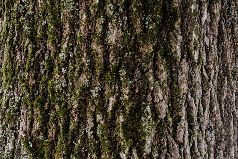 Präglad textur av skället av ett träd med mossa på den Tapet för modell för träträdtextur Vektor EPS10 royaltyfria bilder