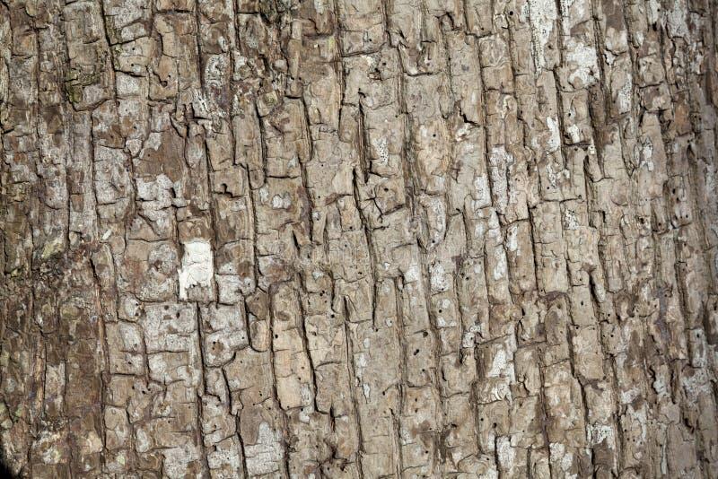 Präglad textur av skället av trädet royaltyfria bilder