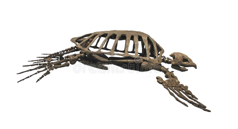 Prähistorische versteinerte Schildkröte getrennt. stockbilder