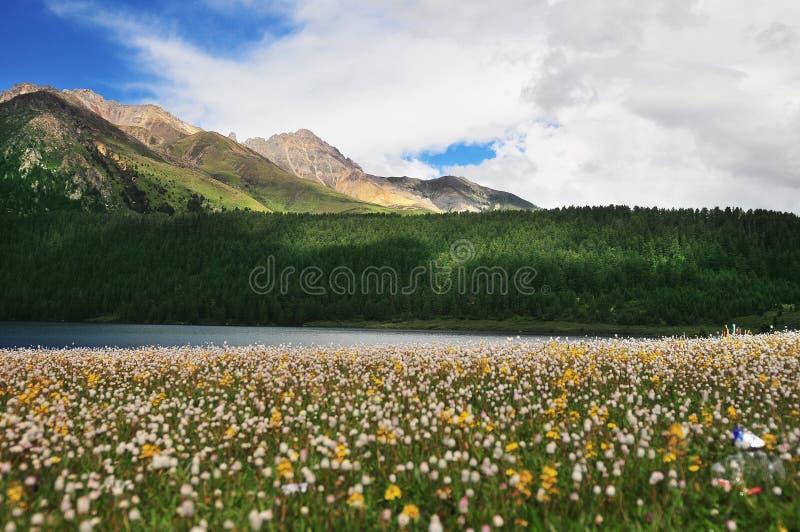 Prärie mycket av blommor, det höga berget och sjön Cuopu arkivbilder