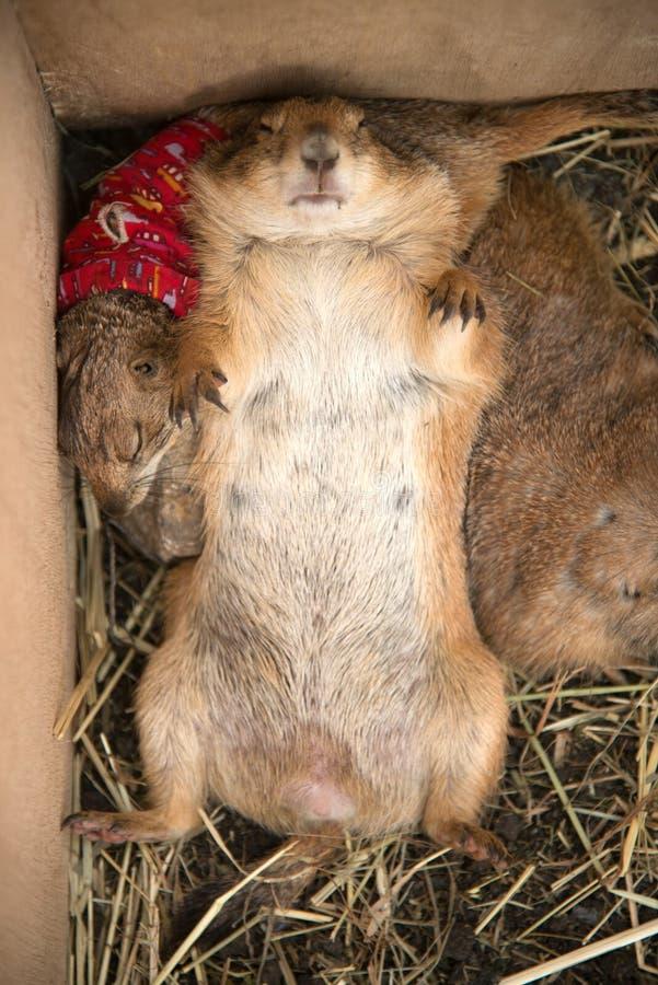 Präriehund ist Schlaf mit dem Drehen nach oben stockbild