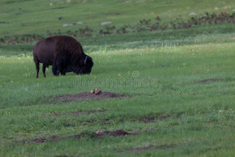 Präriehundfamilj vid en buffel fotografering för bildbyråer