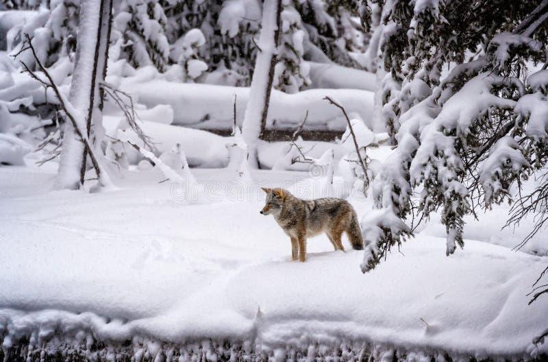 Prärievargen stoppar och fokuserar på möjligt rov i Yellowstone psd arkivfoton