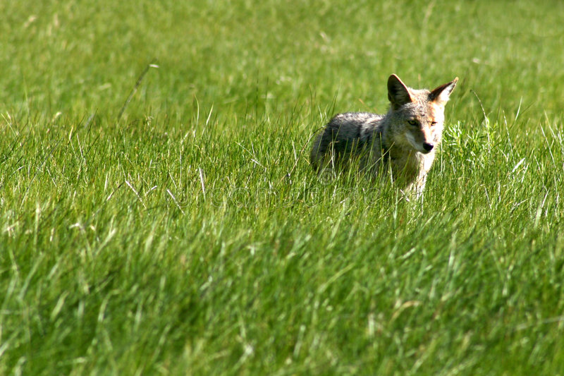 Download Prärievargjägare arkivfoto. Bild av hundar, prärievargar - 32480