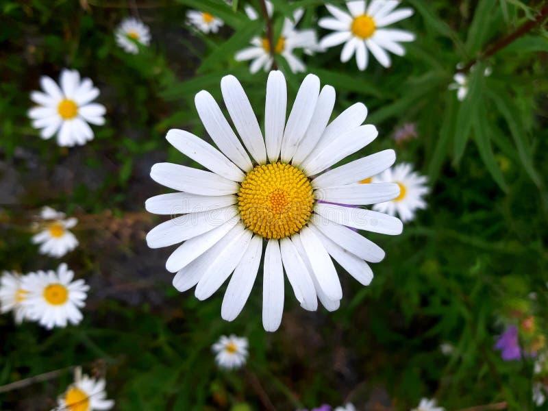 Prästkrage, en härlig vit och gul blomma i sommaren arkivbilder