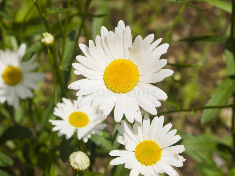 Prästkrage Leucanthemumvulgare, blommamakro med bokehbakgrund, selektiv fokus, grund DOF royaltyfri bild