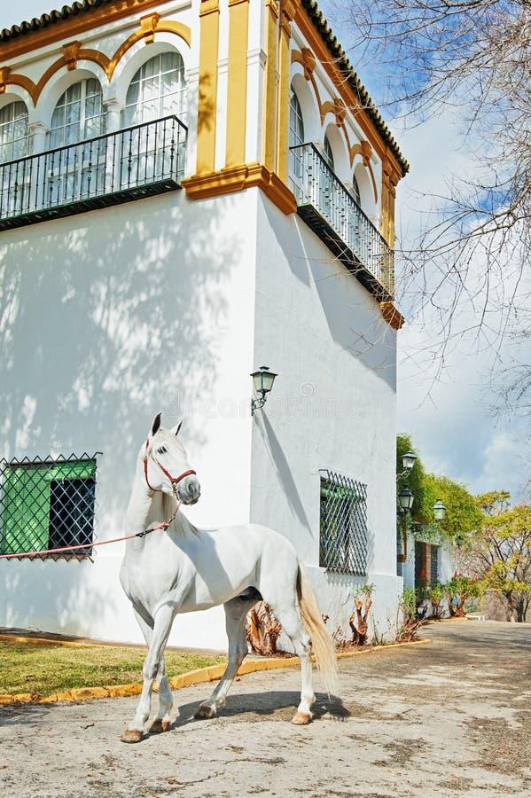 PRÉ étalon poseing contre le bâtiment espagnol traditionnel blanc Le printemps? a mont? des feuilles, fond naturel image libre de droits