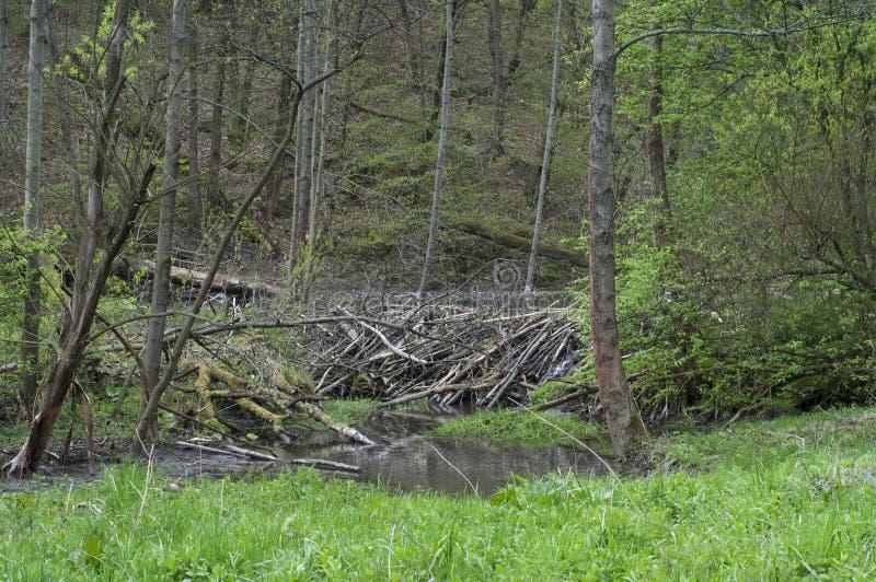 Pré avec des arbres réduits par des castors photos libres de droits