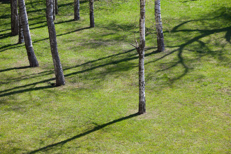 Pré avec l'herbe et les jeunes bouleaux au printemps photo libre de droits