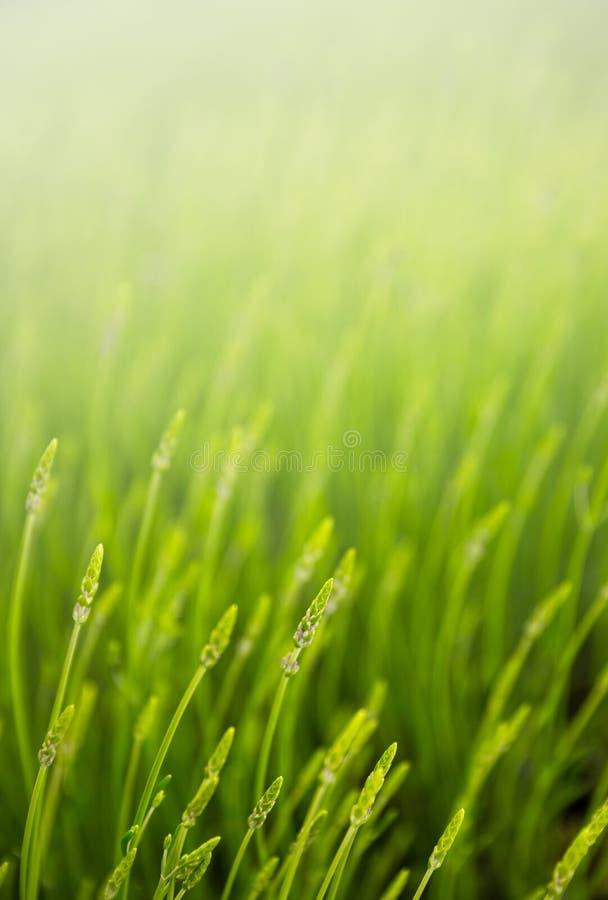 Pré avec l'herbe verte image libre de droits