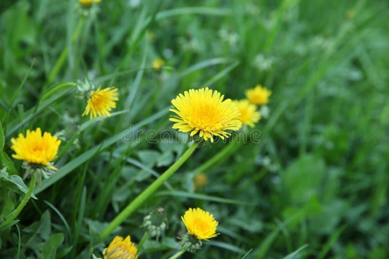 Pré avec l'herbe verte et le plan rapproché jaune de pissenlits image libre de droits
