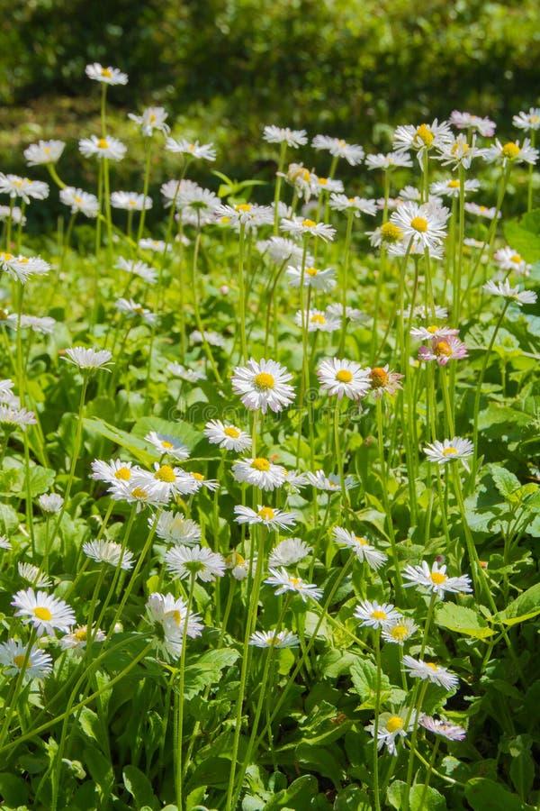 Pré avec les perennis de Bellis de marguerites de fleurs blanches ou la marguerite anglaise images stock