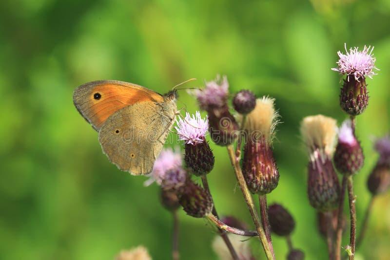 Download Pré Brown image stock. Image du nature, épineux, papillon - 76089235