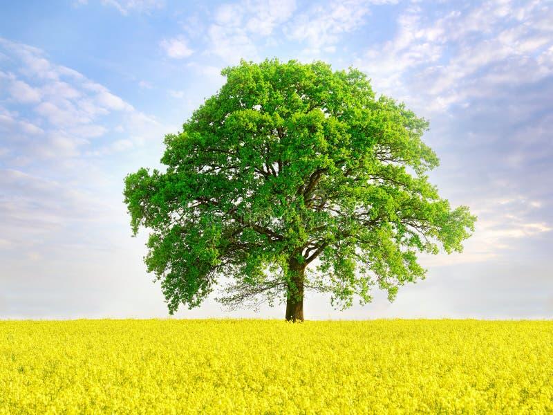 Pré d'été avec les fleurs de viol et le grand arbre photos libres de droits