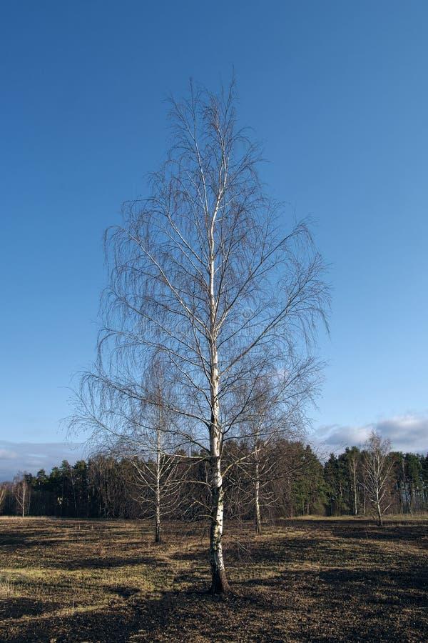 Pré d'arbres de bouleau au printemps après le burn-out de l'herbe sèche de l'année dernière photographie stock