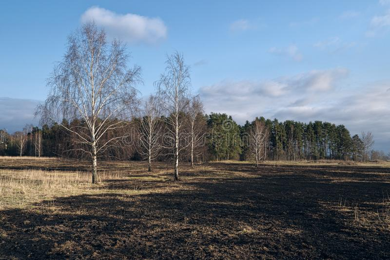 Pré d'arbres de bouleau au printemps après le burn-out de l'herbe sèche de l'année dernière photo libre de droits