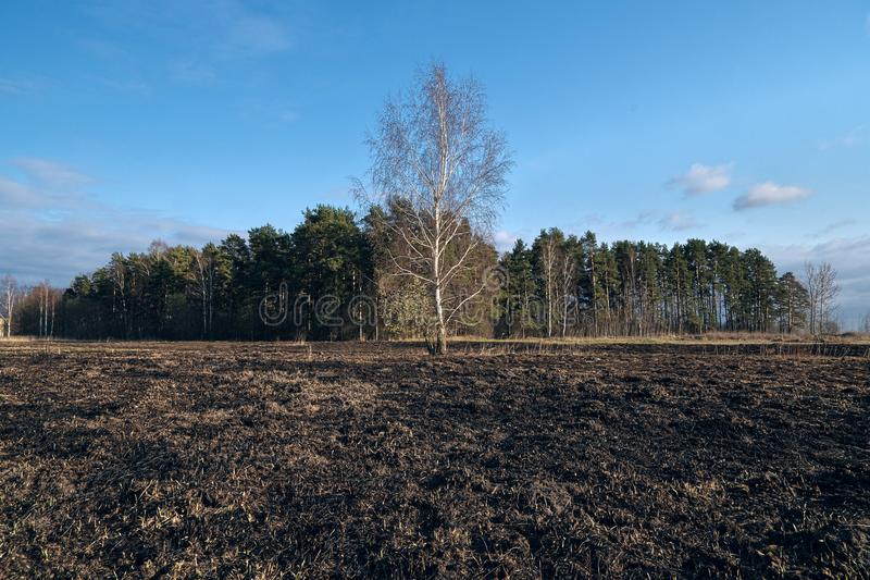 Pré d'arbres de bouleau au printemps après le burn-out de l'herbe sèche de l'année dernière image libre de droits