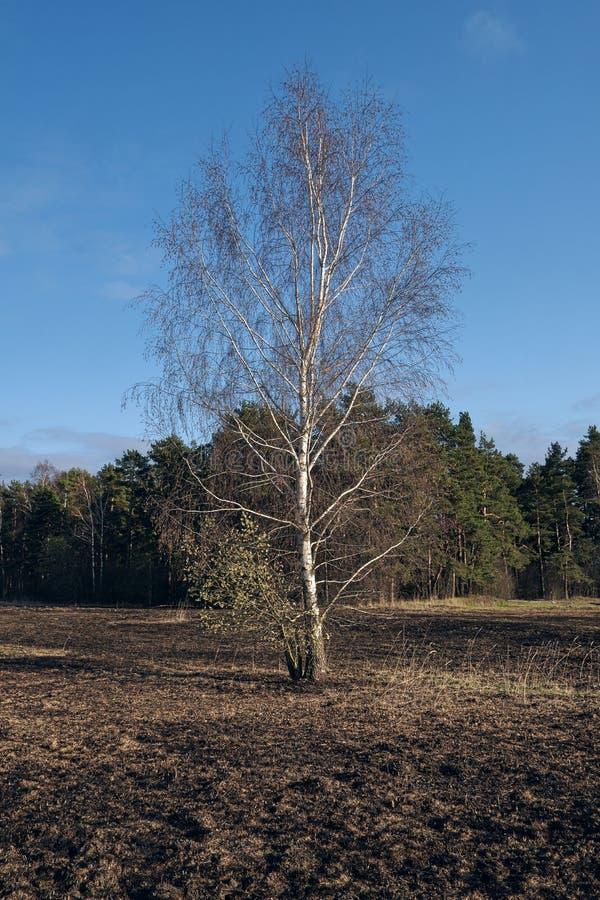 Pré d'arbres de bouleau au printemps après le burn-out de l'herbe sèche de l'année dernière images stock
