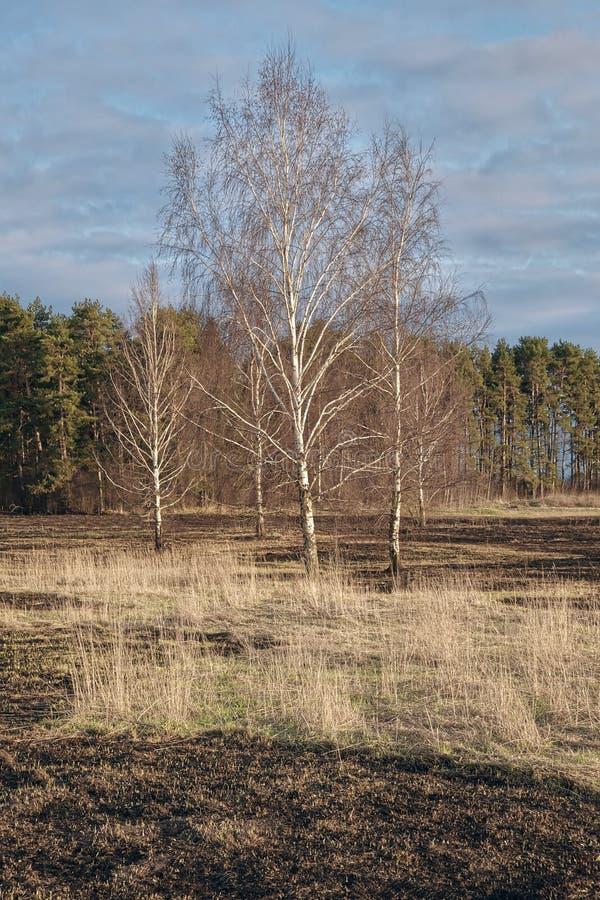 Pré d'arbres de bouleau au printemps après le burn-out de l'herbe sèche de l'année dernière photographie stock libre de droits