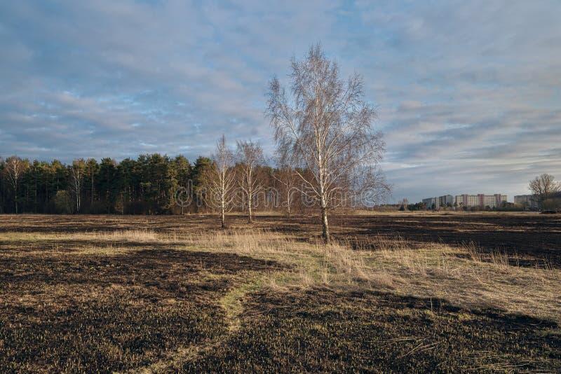 Pré d'arbres de bouleau au printemps après le burn-out de l'herbe sèche de l'année dernière photos libres de droits