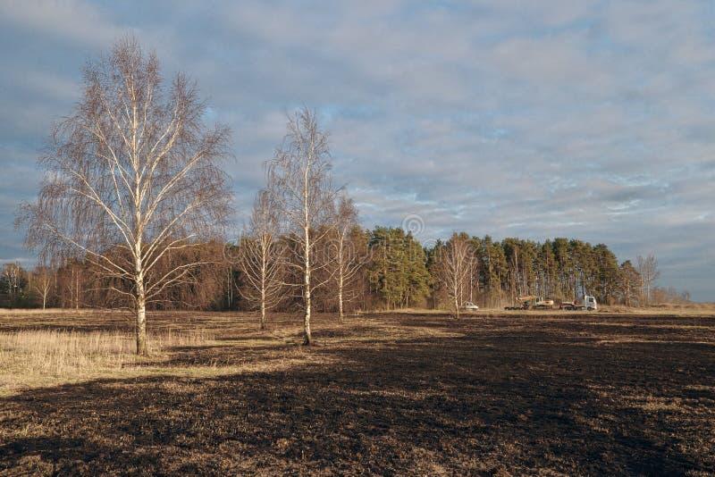 Pré d'arbres de bouleau au printemps après le burn-out de l'herbe sèche de l'année dernière photos stock