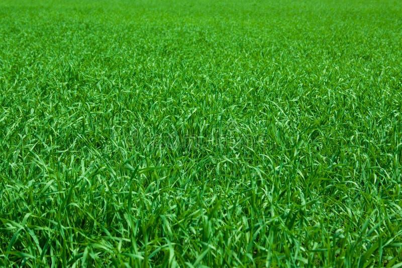 Pré d'herbe verte image libre de droits