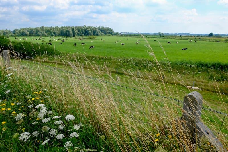 Pré dans l'Ooijpolder avec les moutons et les vaches photo stock