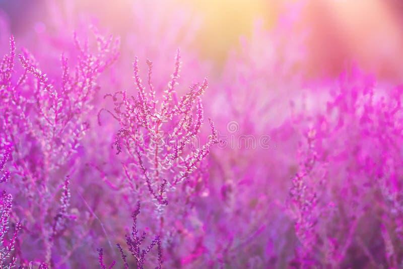 Pré de champ avec de belles fleurs dans des couleurs ultra-violettes et en pastel à la mode Faisceaux évasés de lumière du soleil images libres de droits