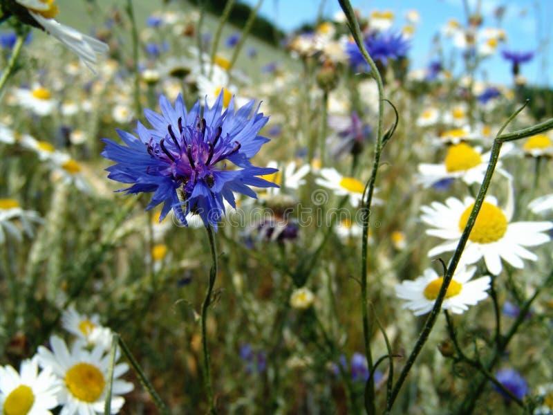 pré de fleur sauvage image libre de droits
