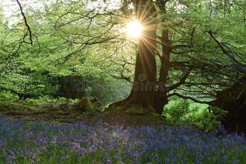 Pré de jacinthe des bois photo libre de droits