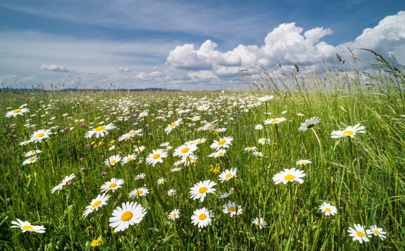 Pré de marguerites blanches au printemps Marguerite des prés  Vulgare de Leucanthemum images libres de droits