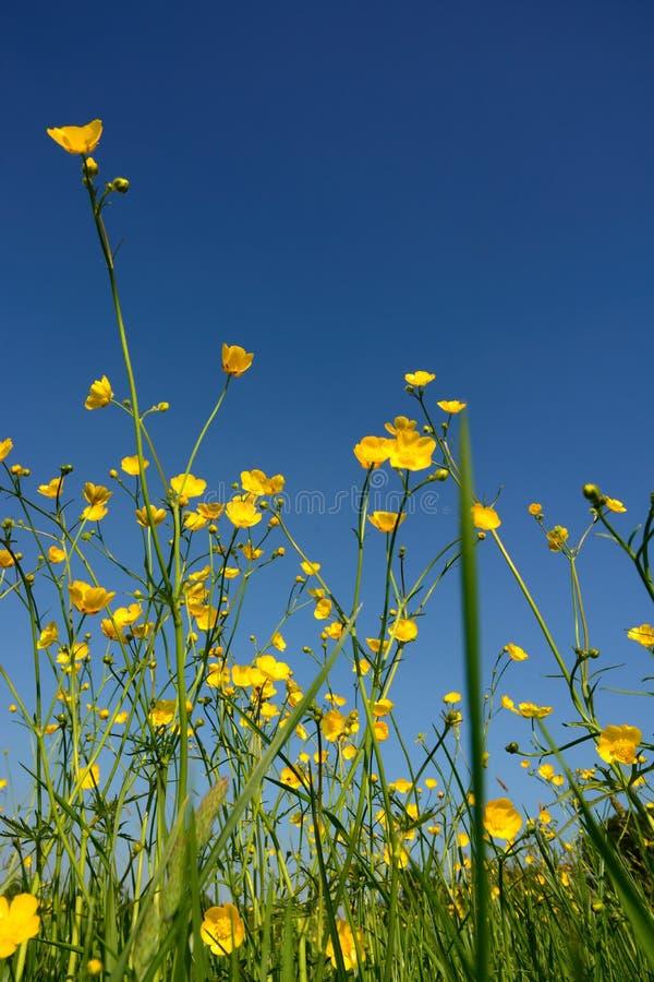 Pré de renoncule et ciel bleu profond d'été image stock