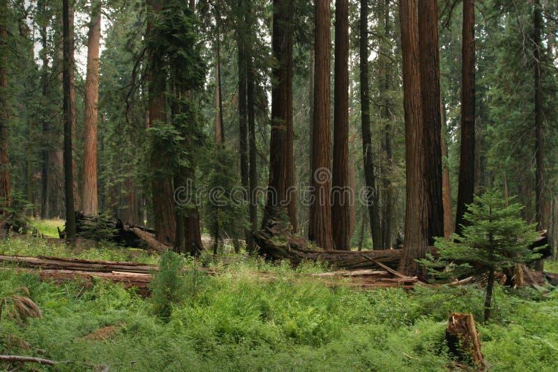 Pré de séquoia photos stock