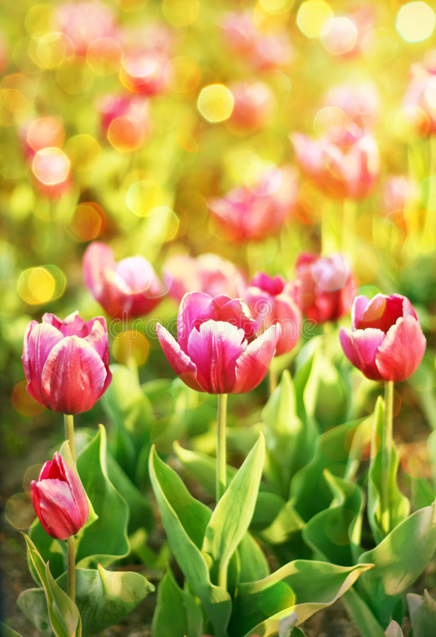Download Pré des tulipes image stock. Image du coloré, zone, botanique - 8665251