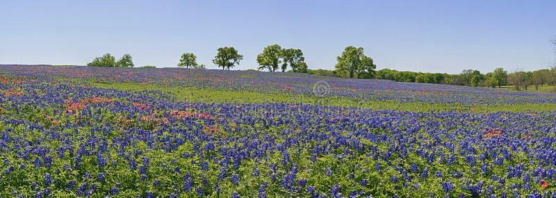 Pré des wildflowers - bluebonnets et pinceau photo libre de droits