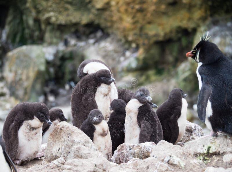 Pré-escolar ou berçário do pinguim de Rockhopper imagens de stock royalty free