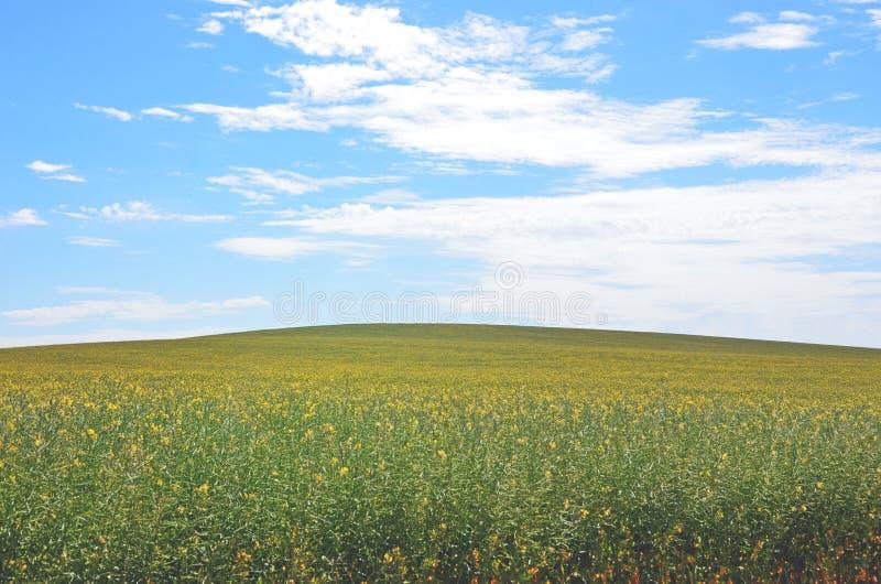 Pré jaune de ressort de fleur de canola sous le fond de ciel bleu photos libres de droits