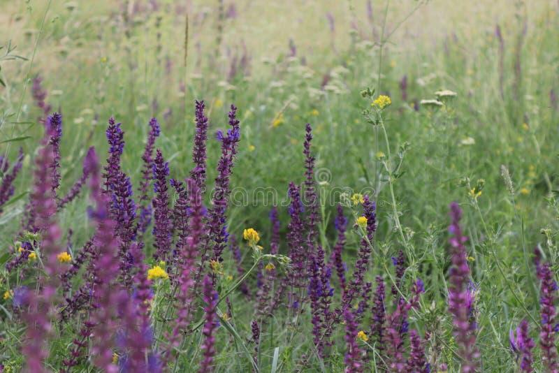 Pré vert d'été avec les wildflowers pourpres et jaunes dans la campagne ukrainienne photographie stock