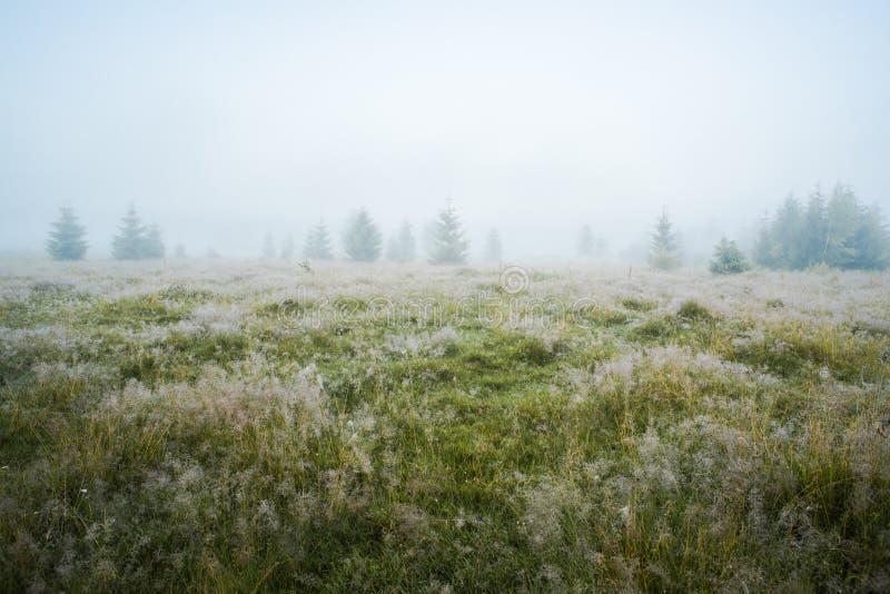 Pré vert dans la rosée de matin et les jeunes sapins en brouillard dense image stock
