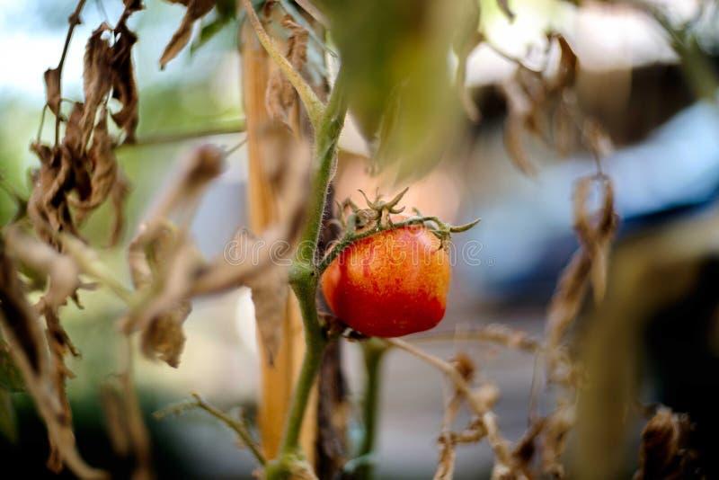 Précipitation de tomate photos stock