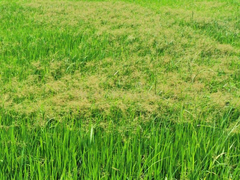 Précipitation grande de frange, mauvaise herbe de carex dans la rizière photo stock