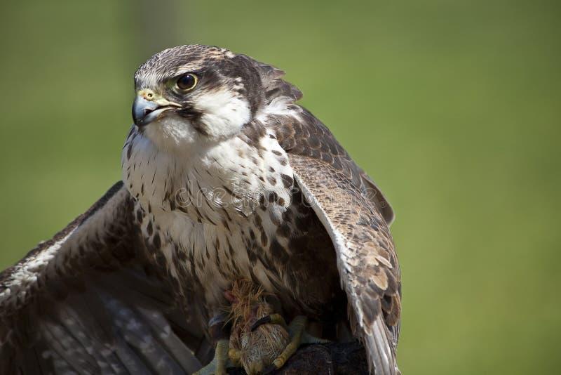 Prédateur D Oiseau Image libre de droits