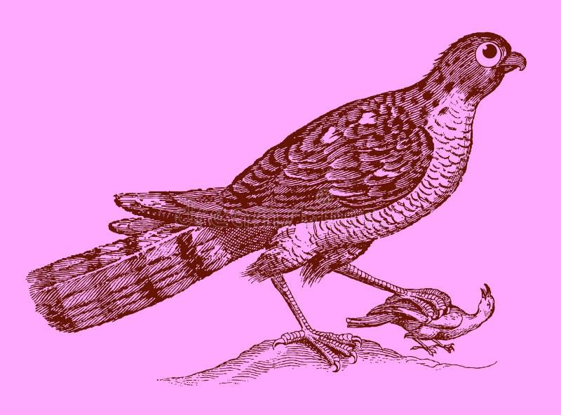 Prédateur mignon : sparrowhawk eurasien tenant un oiseau capturé dans t illustration libre de droits