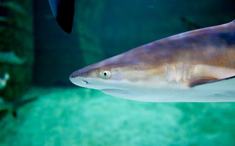 Prédateur supérieur de requin du récif photo libre de droits